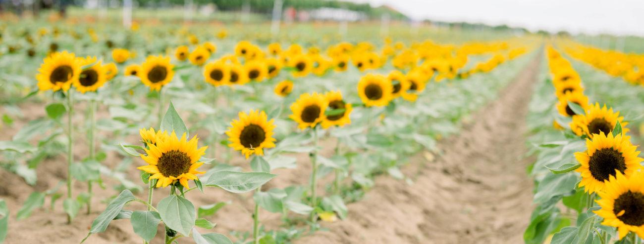 SHF Sunflowers