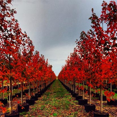 Ornamental Trees at Southern Hill Farms in Clermont FL